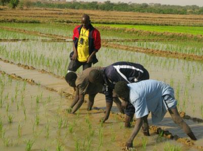 La riziculture au Bénin