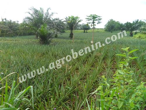 La culture de l'ananas biologique au Bénin: mythe ou réalité
