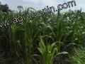 Glazoué : la riziculture est en danger !