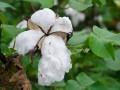Bénin: Lancement de la campagne de commercialisation du coton saison 2015-2016