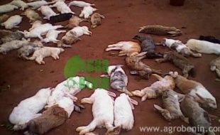 Fièvre hémorragique chez les lapins.