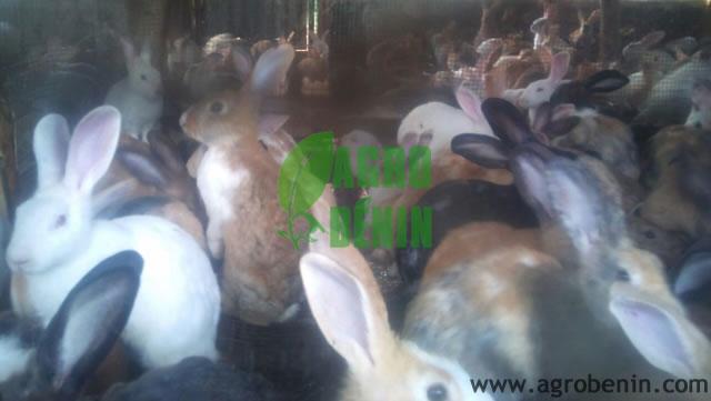 Lapins de la ferme de koba pamphile