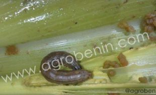 La Chenille le nouveau ravageur invasif du maïs au Bénin