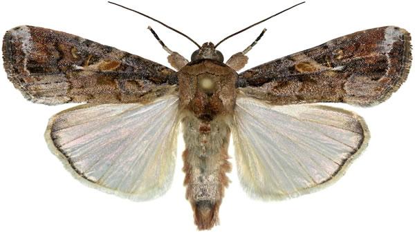 Papillon Spodoptera Frugiperda