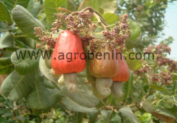 Campagne Anacarde au Bénin