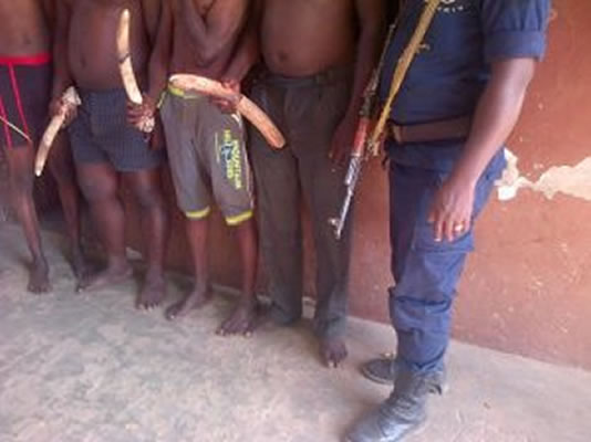 Trafiquants d'ivoires à banikoara au Bénin