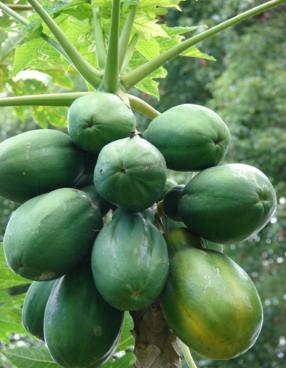papayer