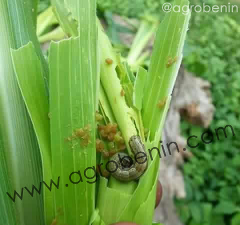 Apparition de la chenille ravageur du maïs