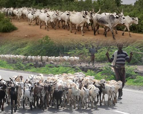 Transhumance, source de conflits entre eleveurs et agriculteurs